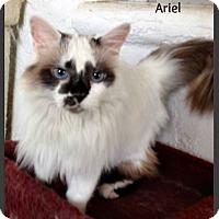 Adopt A Pet :: Ariel - Gilbert, AZ