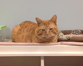 Domestic Shorthair Cat for adoption in Byron Center, Michigan - Bastion