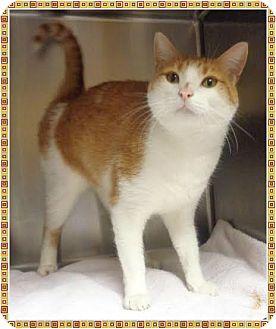 Domestic Shorthair Cat for adoption in Marietta, Georgia - GAVIN AKA CHEDDERS