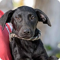 Adopt A Pet :: Les Miserables Puppies - Male - San Diego, CA