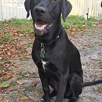 Adopt A Pet :: Potsie - Sarasota, FL
