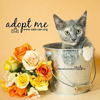 Domestic Shorthair Kitten for adoption in Oviedo, Florida - Miss Marple