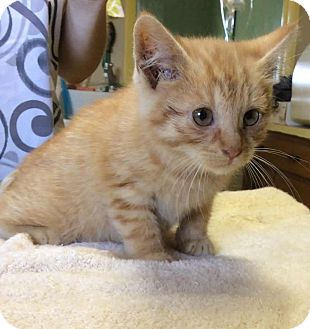Domestic Shorthair/Domestic Shorthair Mix Kitten for adoption in Albion, New York - MoJo