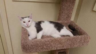 Domestic Mediumhair/Domestic Shorthair Mix Cat for adoption in Phoenix, Arizona - Moses