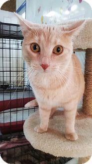 Domestic Shorthair Cat for adoption in Jackson, Missouri - Sophie