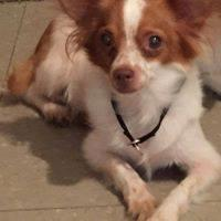 Adopt A Pet :: Puddin - Shelby, NC