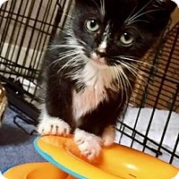 Domestic Shorthair Kitten for adoption in Flushing, New York - Edith & meathead
