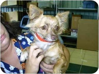 Chihuahua Mix Dog for adoption in Charleston, South Carolina - Reeses