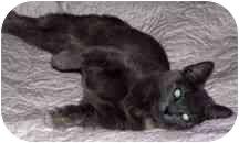 Domestic Shorthair Kitten for adoption in Aldie, Virginia - DUCHESS