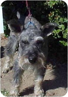 Schnauzer (Standard) Mix Dog for adoption in Spring Valley, California - Tramp