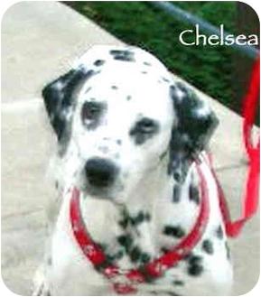 Dalmatian Dog for adoption in Mandeville Canyon, California - Chelsea 3