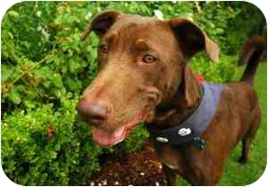 Labrador Retriever Mix Dog for adoption in Houston, Texas - Bentley