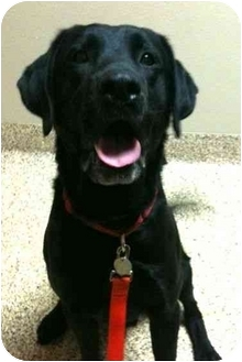 Labrador Retriever Dog for adoption in San Diego, California - ASHTON