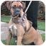 Photo 3 - Boxer Dog for adoption in Poway, California - SASHA