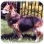 Photo 2 - Collie/Corgi Mix Dog for adoption in Baldwin, New York - Marigold