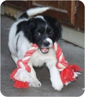 Spaniel (Unknown Type)/Beagle Mix Puppy for adoption in Las Vegas, Nevada - Lennox