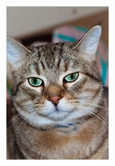 Domestic Shorthair Cat for adoption in Moline, Illinois - Fido