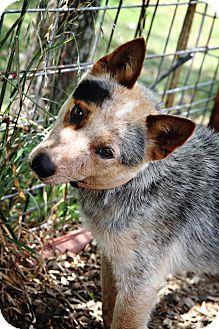 Blue Heeler Mix Dog for adoption in Comanche, Texas - Reno