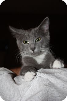 Domestic Shorthair Cat for adoption in Union, Kentucky - Buddy