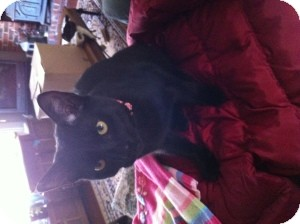 American Shorthair Kitten for adoption in Marlton, New Jersey - Jonah