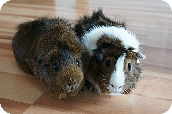 Guinea Pig for adoption in Brooklyn Park, Minnesota - Shiloh