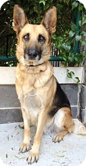 German Shepherd Dog Mix Dog for adoption in Dublin, California - Delilah