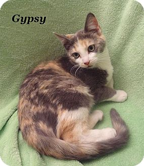 Calico Kitten for adoption in Bentonville, Arkansas - Gypsy