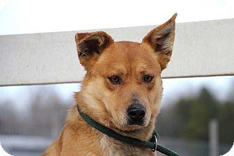 Australian Cattle Dog/Husky Mix Dog for adoption in Salem, New Hampshire - TAYLOR