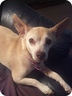 Chihuahua Mix Puppy for adoption in North Brunswick, New Jersey - Bunny