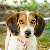 Adopt A Pet :: Baylee - Wytheville, VA