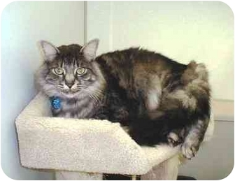 Maine Coon Cat for adoption in Fort Bragg, California - Stash