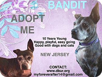 Pit Bull Terrier/Boston Terrier Mix Dog for adoption in Union, New Jersey - Bandit (Bandi)
