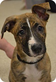 German Shepherd Dog/Pit Bull Terrier Mix Puppy for adoption in Toledo, Ohio - Nala