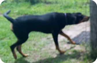 Rottweiler/Redbone Coonhound Mix Dog for adoption in Okeechobee, Florida - Tammie
