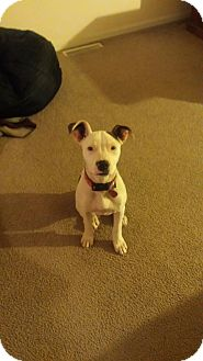 American Bulldog/American Pit Bull Terrier Mix Puppy for adoption in Sacramento, California - Avery, great pup!