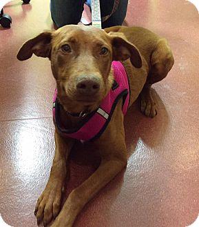 Vizsla Mix Dog for adoption in Mechanicsburg, Ohio - Ariel
