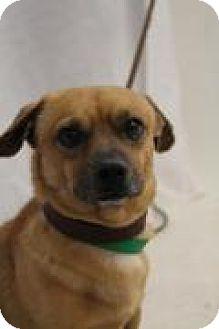 Chihuahua Mix Dog for adoption in Huachuca City, Arizona - Moe