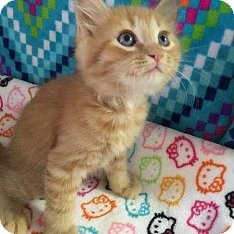 Domestic Shorthair Kitten for adoption in Fountain Hills, Arizona - TITAN