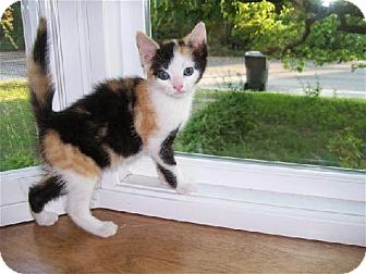 Domestic Shorthair Kitten for adoption in Island Heights, New Jersey - Ella