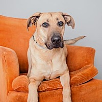 German Shepherd Dog Mix Dog for adoption in Mission Hills, California - Titan