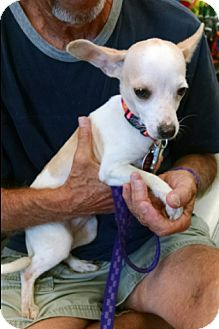 Chihuahua Mix Dog for adoption in Cat Spring, Texas - Addie
