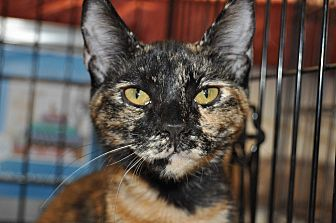 Domestic Shorthair Cat for adoption in La Canada Flintridge, California - Olivia