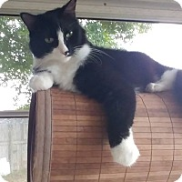 Adopt A Pet :: Sylvester - New Port Richey, FL