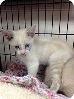 Siamese Kitten for adoption in Tehachapi, California - Yul