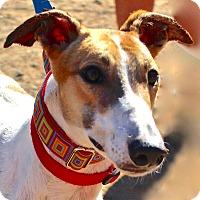 Adopt A Pet :: Sunny - Tucson, AZ