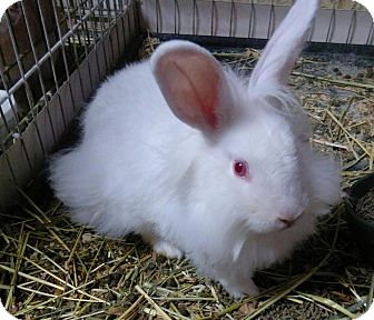 Lionhead Mix for adoption in Palm Coast, Florida - Rodger