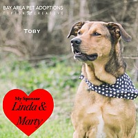 Shepherd (Unknown Type)/Labrador Retriever Mix Dog for adoption in San Leon, Texas - Toby