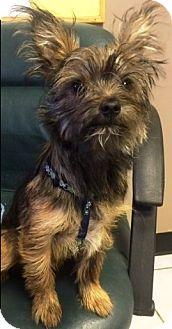 Yorkie, Yorkshire Terrier Mix Puppy for adoption in Oswego, Illinois - Bogie