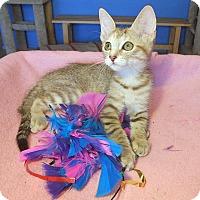 Adopt A Pet :: Quinn - Glendale, AZ