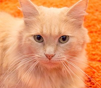 Domestic Longhair Cat for adoption in Chicago, Illinois - Buster B